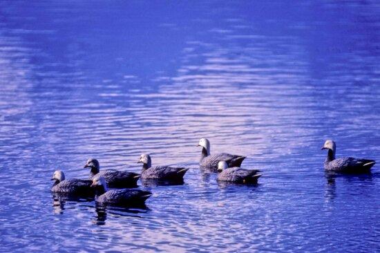 emperor, geese, water