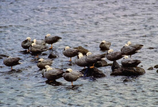 emperor, geese, resting