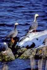 empereur, oies, oiseaux aquatiques, les oiseaux, chen, canagica