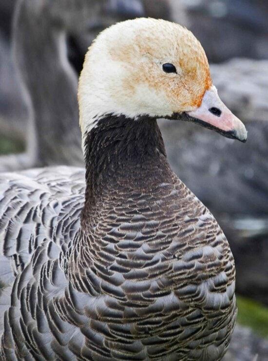 emperor, goose