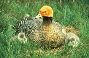 emperor, goose, chicks