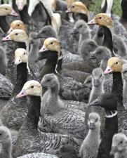 emperor, goose, flock, up-close, heads