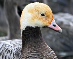emperor, goose, head, up-close, bird