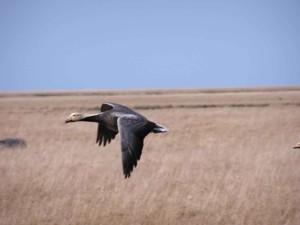 emperor, goose, flight, high, grass