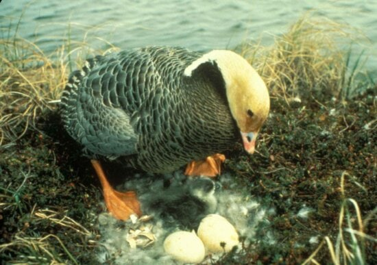 emperor, goose, nest, eggs