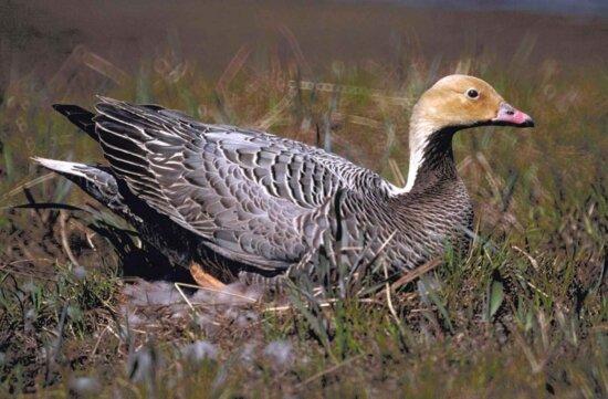 emporer, goose, female, nest