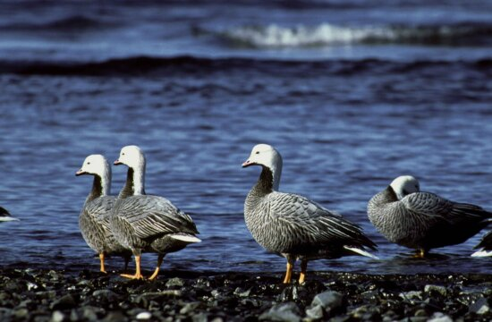 group, emperor, geese, gather, togrther, chen canagica