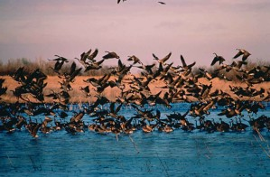 flock, wild, geese, taking, water