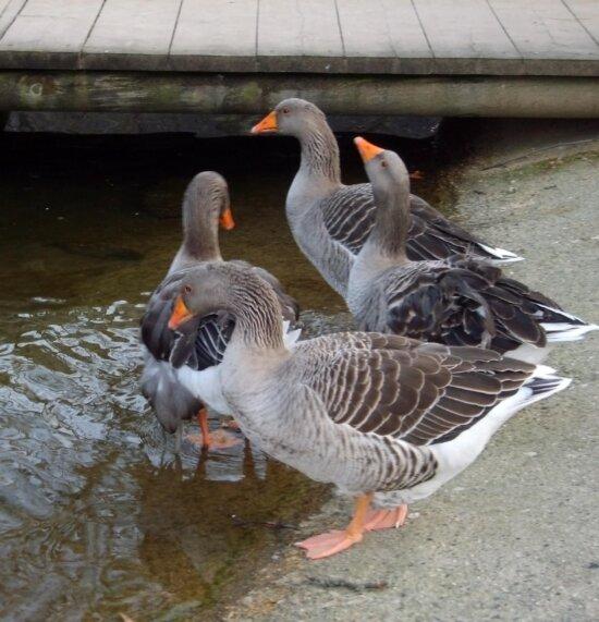 geese, birds, St. Nicholas