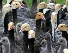 goose, flock, group