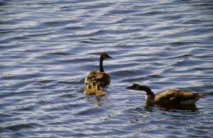 grupa, goslings, pažljivo pratiti Ženski, Kanada guske