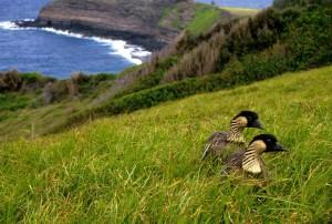 하와이, 거 위, 네 네, 새, branta sandvicensis