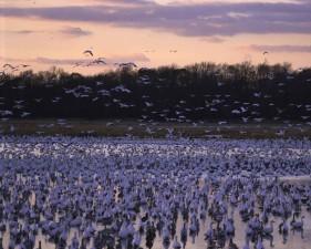 hundreds, thousands, ducks, geese