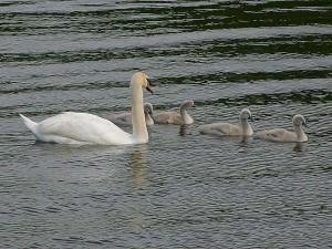 ทะเลสาบ goslings ห่าน ห่าน นก