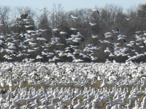 snow, geese, flocking