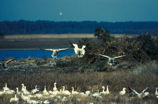 group, snow, geese, chen cearulescens, prepare, land