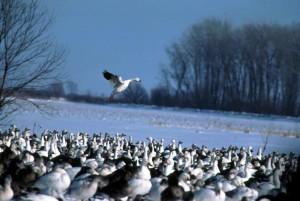 troupeau, neige, oies, chen, caerulescens, neige