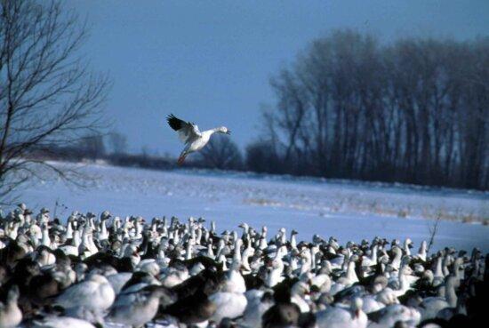 flock, snow, geese, chen caerulescens, snow
