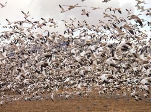 troupeau, oies des neiges, les oiseaux qui volent