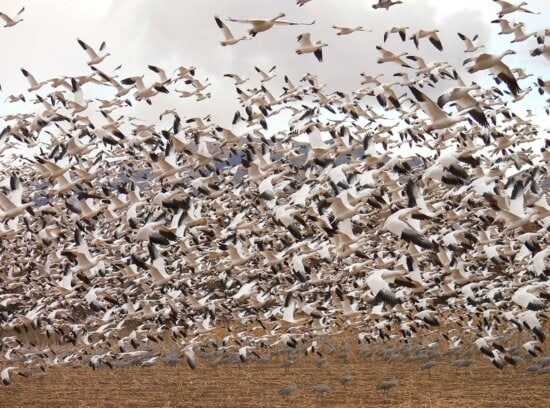 flock, snow geese, flying birds