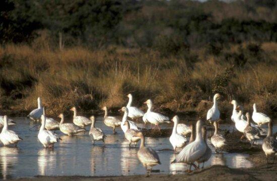flock, snow, geese, lake