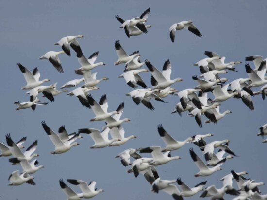 snow, geese, ross, geese, flight