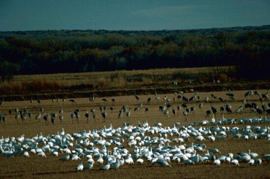 snow, geese, sandhill, cranes