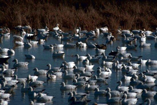 snow, geese, birds, water