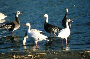 neige, oies, oiseaux, mâles, femelles