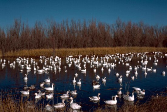 snow, geese, bosque, national park