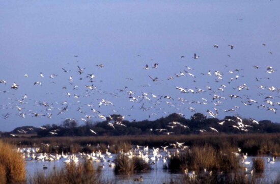 snow, geese, flight