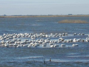 snow, geese, water