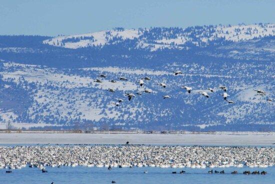 snow, geese, migration, flight