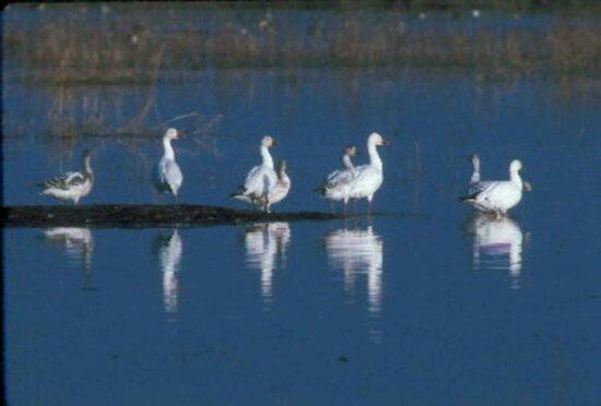 snow, geese, lake