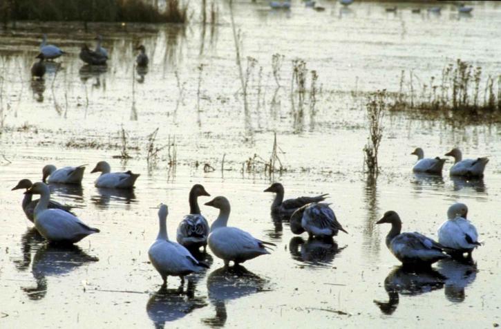 neige, oies, oiseaux aquatiques, les oiseaux