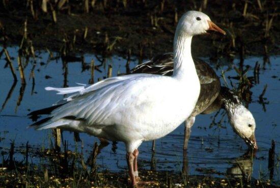 snow, goose, bird, chen caerulescens