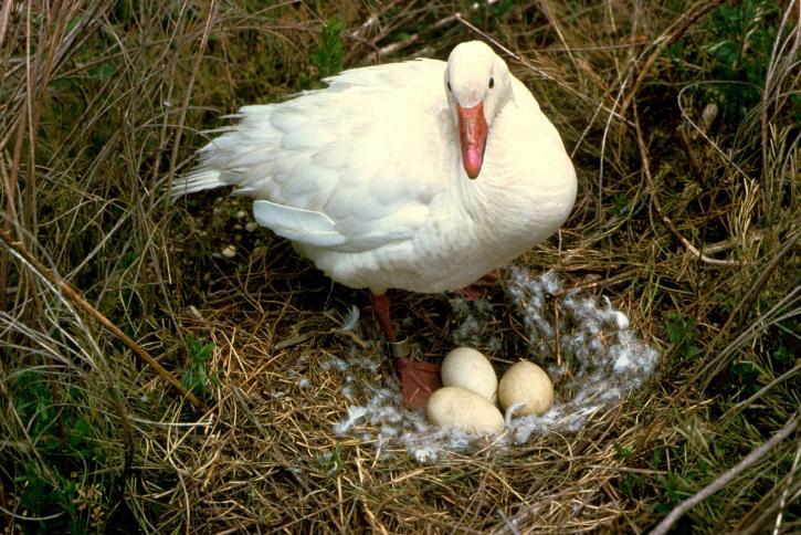 snow, goose, bird, stands, nest, eggs