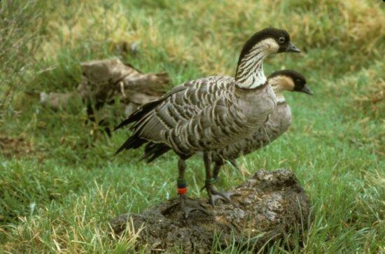 goose, Hawaiian, Hawaii