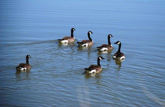 waterfowl, geese, swimming