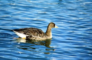 greater, white, fronted, goose, anser, albifronts