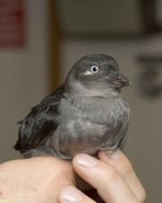 grigio, uccello, da vicino, i dettagli, ad alta definizione, uccello, immagine