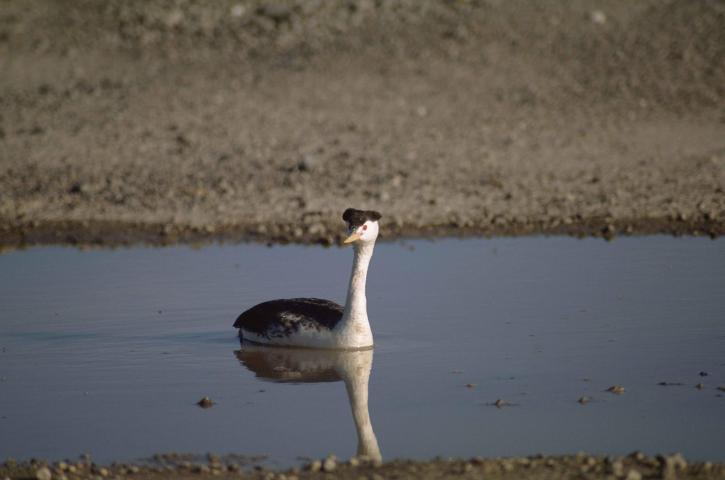 близък план, Западен гмурец, водни птици, птици, aechmophorus occidentalis