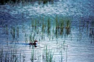 Grebe, Schwimmen, sumpfigen, Teich