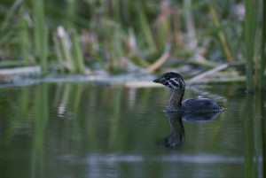 juvenile, gescheckt, berechnet, Seetaucher, Wasservögel, Vogel, Schwimmen, Wasser