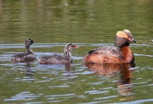 podiceps auritus, водни птици, стършели, гмурец, патици, плуване