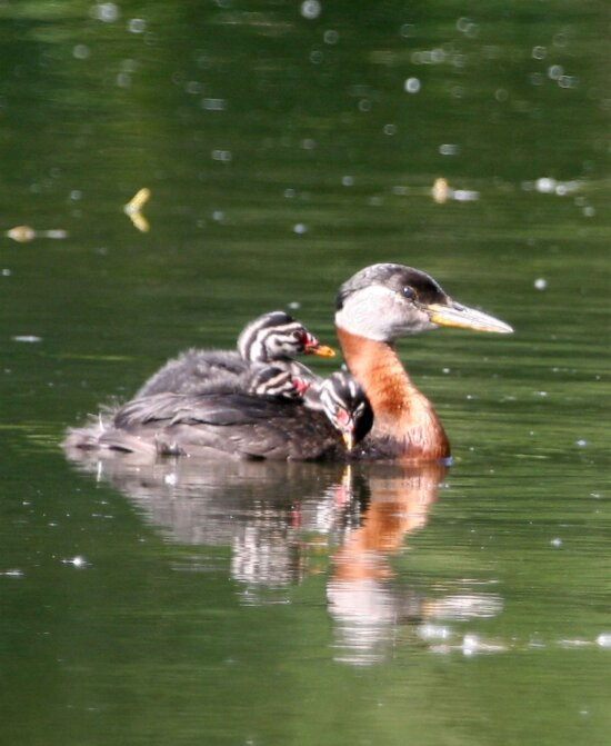 red, necked, grebe, female, bird, young, podiceps grisegena