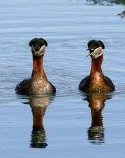 red, necked, grebe, pair, up-close, podiceps, grisegena