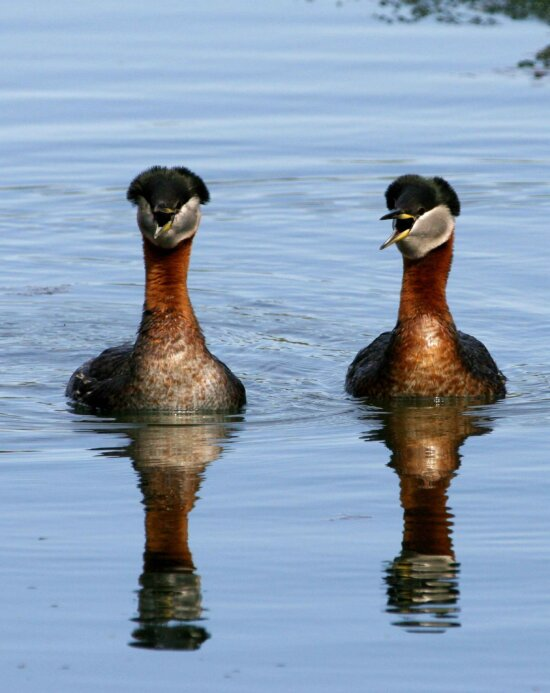 red, necked, grebe, pair, up-close, podiceps grisegena