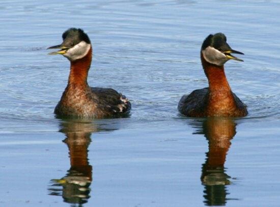 red, necked, grebe, pair, female, male, birds, podiceps grisegena