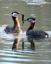 red, necked, grebe, pair, courtship